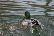 Dunking Photo Framed Prints - Duck Bathing Series 6 Framed Print by Craig Hosterman