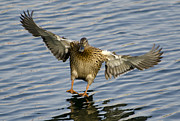 Wild Wings Metal Prints - Duck landing Metal Print by Mats Silvan