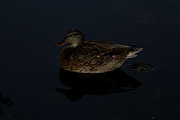 Marie Jamieson - Duck on a Dark Pond