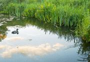 White River Scene Prints - Duck on a Lake Print by Svetlana Sewell