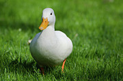 Duck On Grass Print by Mats Silvan