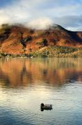 Rural Landscapes Metal Prints - Duck On Lake, Lake District, Cumbria Metal Print by John Short