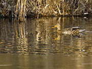 Nature Center Pond Prints - Duck Ripples Print by LeeAnn McLaneGoetz McLaneGoetzStudioLLCcom