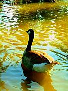 Duck Pond Prints - Duck Swimming Away Print by Amy Vangsgard