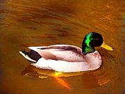 Duck Pond Prints - Duck Swimming on Golden Pond Print by Amy Vangsgard