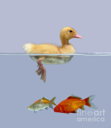Domesticated Animal Framed Prints - Duckling And Goldfish Framed Print by Jane Burton