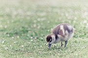 Full-length Framed Prints - Duckling In Grass Field Framed Print by Cindy Prins