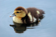 Jeannie Burleson Art - Duckling by Jeannie Burleson
