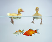 Animal Baby Posters - Ducklings and Goldfish Poster by Jane Burton and Photo Researchers