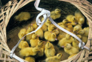 Michele Burgess - Ducklings in a Basket