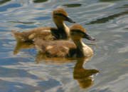 Ducklings Photos - Ducklings by Kristin Elmquist