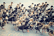 Large Group Of Animals Art - Ducklings by Raj