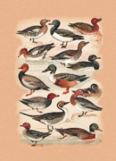 Birds - Ducks by Eric Kempson