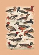 Birds - Ducks by Eric Kempson