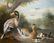 Jakob (1660-1724) Framed Prints - Ducks in a River Landscape Framed Print by Jakob Bogdany