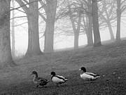 Karin Ubeleis-Jones - Ducks in the Morning Mist