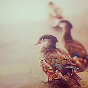 The Bird Photo Prints - Ducks Print by Julia Davila-Lampe