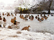 United Kingdom Greeting Cards Posters - Ducks on a Frozen Park Lake Ormskirk Poster by Liam Liberty