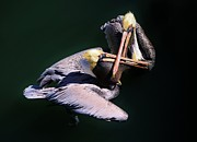 Dueling Pelicans Print by Paulette  Thomas