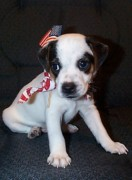 Black And White Jack Russell Terrier Puppies Photos - Duke The American by Linda Parker