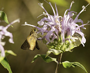 Winged Art - Dun Skipper by Thomas Young