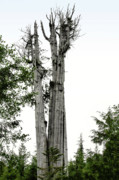 Tall Trees Posters - Duncan Memorial Big Cedar Tree - Olympic National Park WA Poster by Christine Till