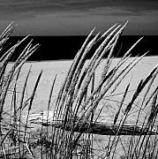 Beach. Black And White Posters - Dune Grass in Early Spring Poster by Michelle Calkins