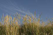 Indiana Dunes Photos - Dune grass in foreground blue sky in background by Purcell Pictures