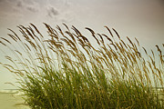 Dune Grass Posters - Dune Grass Poster by Timothy Johnson