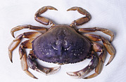 Cancer Art - Dungeness Crab by David Nunuk