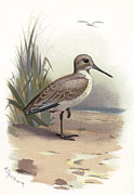 Bird Drawing Posters - Dunlin, Historical Artwork Poster by Sheila Terry