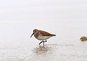 Dunlin Framed Prints - Dunlin in Winter Framed Print by Louise Heusinkveld