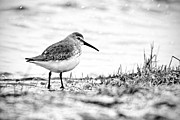 Dunlin Framed Prints - Dunlin Framed Print by Jeremy Cozannet