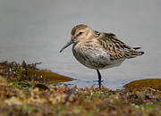 Dunlin Framed Prints - Dunlin Framed Print by Perry Van Munster