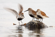 Dunlin Framed Prints - Dunlin Winging In To Join Flock Framed Print by Max Allen