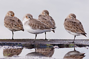 Dunlin Framed Prints - Dunlins Framed Print by Hiroyuki Uchiyama