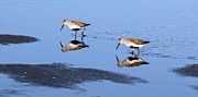 Dunlin Framed Prints - Dunlins Reflection Framed Print by Angie Vogel