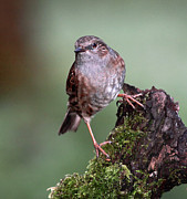 Tree Stump Posters - Dunnock Poster by Grant Glendinning Photography