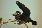 Cormorant Photos - Duo by Fraida Gutovich