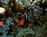Anenome Photos - Dusky Anenomefish by Brian Governale