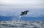 Featured Art - Dusky Dolphin Jumping New Zealand by Flip Nicklin