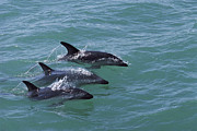 Three-quarter Length Framed Prints - Dusky Dolphin Trio Surfacing Kaikoura Framed Print by Flip Nicklin