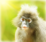 Primate Photo Prints - Dusky Leaf Monkey Print by Anna Omelchenko