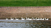 Goose In Water Posters - Dutch Geese Flotilla Poster by Carol Groenen