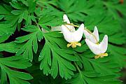 Breeches Posters - Dutchmans Breeches Poster by Alan Lenk