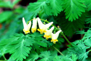 Breeches Photos - Dutchmans-Breeches by Thomas R Fletcher