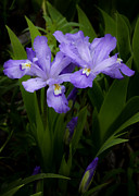 Purple Canvas Prints - Dwarf Crested Iris Print by Rob Travis