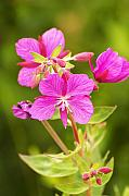 Dwarf Framed Prints - Dwarf Fireweed Framed Print by Richard Henne