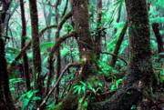 Dwarf Forest Mist El Yunque Print by Thomas R Fletcher