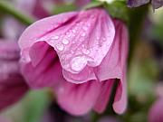 Mnkreations Metal Prints - Dwarf Hollyhock and Raindrops Metal Print by Michelle Kelnhofer